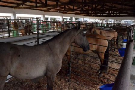 Expofeira 2018 terá o dobro de cavalos campolina
